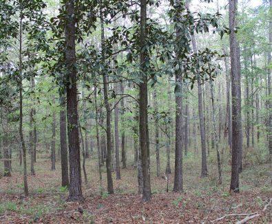 Pine Oak Stand at Ghost Fleet Tract in Baldwin County, AL
