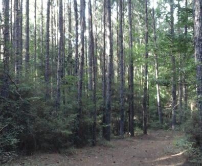 Timber at Sabine Timberlands in Sabine Parish, LA