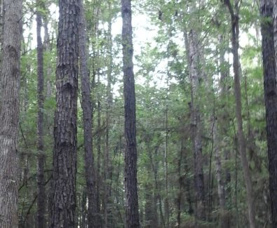 Timber at Sabine Timberlands in Sabine Parish, LA